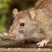 Rattus norvegicus - sewer rat