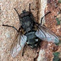 "Common cluster fly, ""Pollenia rudis"""