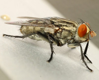 """Common house fly, """"Musca domestica"""""""